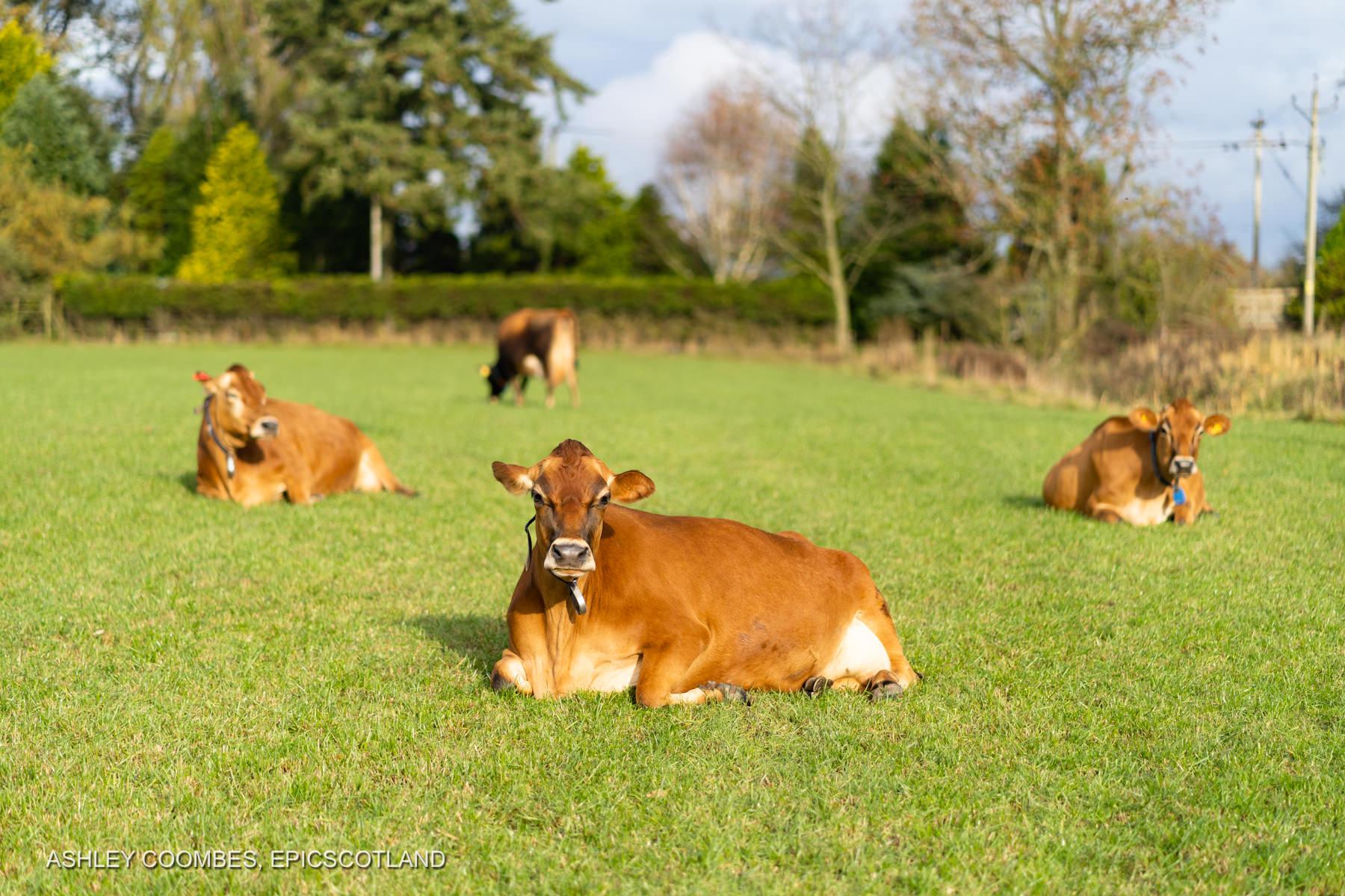 Graham's Dairy Farm Kippen